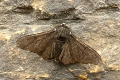 Biston betularia - Peppered Moth (form carbonaria) - Kirk Smeaton