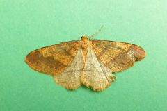 Agriopis aurantiaria - Scarce Umber, Kirk Smeaton-