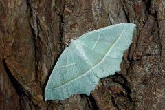 Campaea margaritata - Light Emerald - Kirk Smeaton