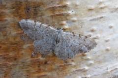 Aethalura punctulata - Grey Birch, Woodside Nurseries, Austerfield.