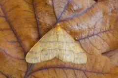 Agriopis aurantiaria - Scarce Umber, Woodside Nurseries, Austerfield.