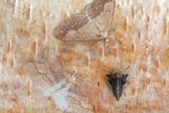 Agriopis marginaria - Dotted Border (males and flightless female), Woodside Nurseries, Austerfield.