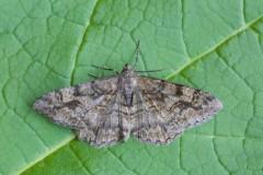Alcis repandata - Mottled beauty, Woodside Nurseries, Austerfield.