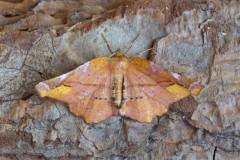 Apeira syringaria - Lilac Beauty, Woodside Nurseries, Austerfield.