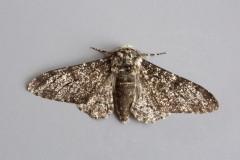 Biston betularia - Perrered Moth aberration, Woodside Nurseries, Austerfield