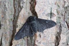 Biston betularia f.carbonaria - Peppered Moth, Woodside Nurseries, Austerfield.