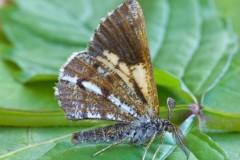 Bupalus piniaria - Bordered White, Austerfield.