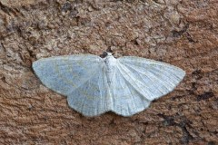 Cabers exanthemata - Common Wave, Woodside Nurseries, Austerfield