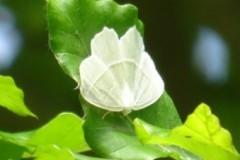 Campaea margaritaria - Light Emerald, Brodsworth Hall
