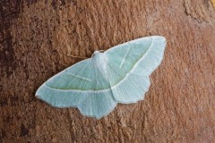 Campaea margaritaria - Light Emerald, Woodside Nurseries, Austerfield.
