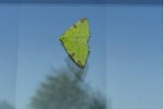 Opisthograptis luteolata - Brimstone Moth
