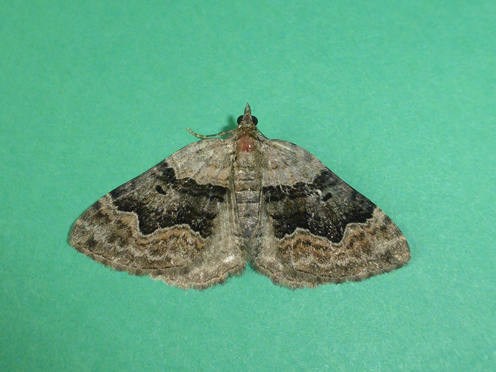 Xanthorhoe quadrifasiata  - Large Twin-spot Carpet - Kirk Smeaton
