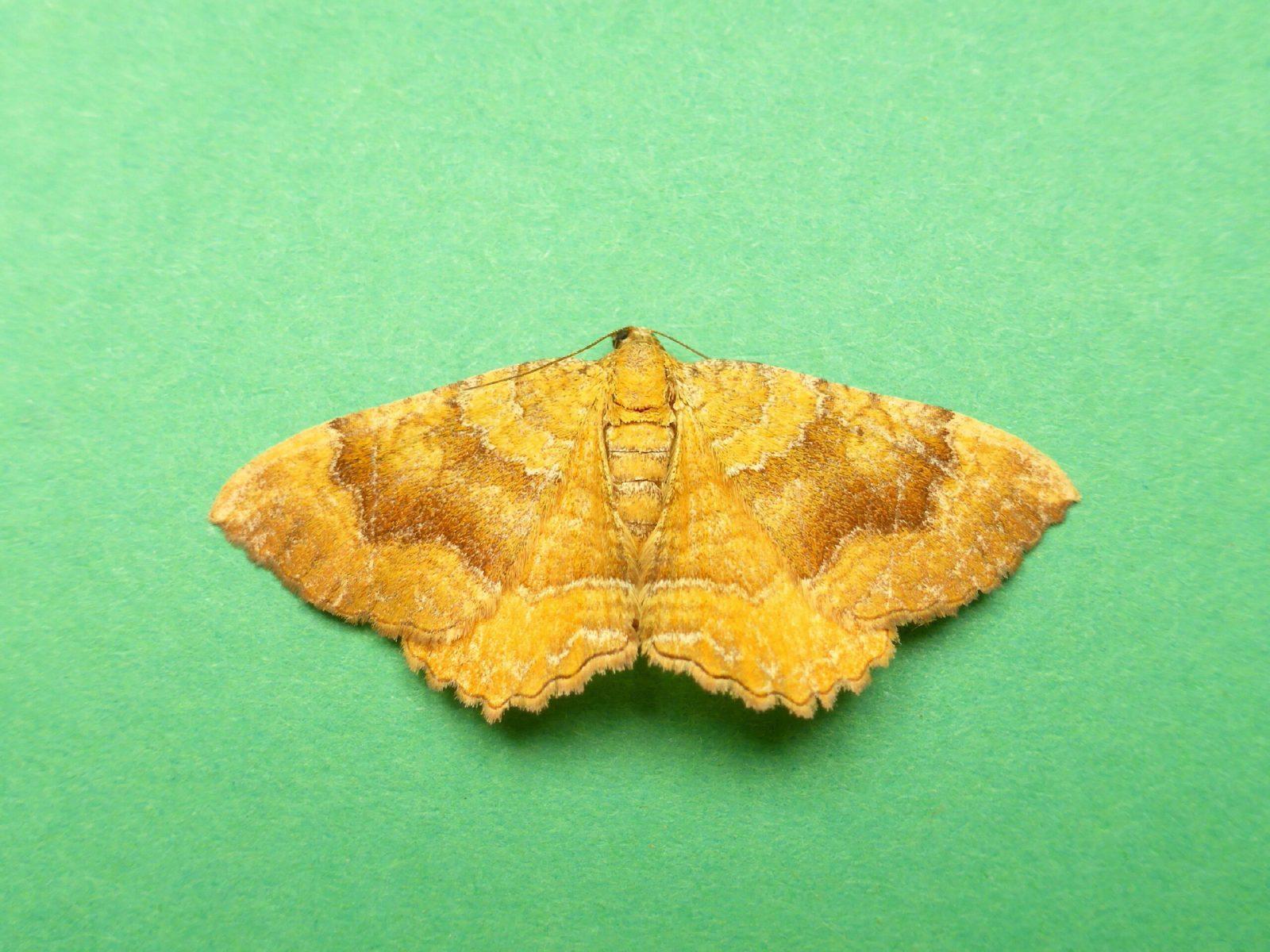 Camptogramma bilineata atlantica - Yellow Shell - Kirk Smeaton