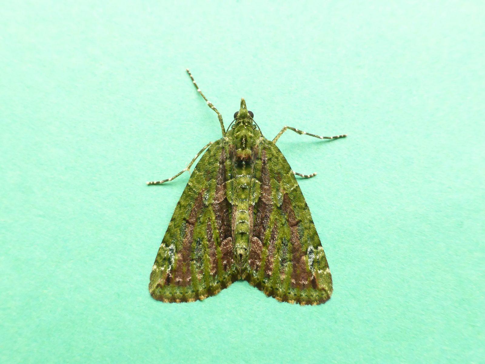 Chloroclysta siterata - Red-green Carpet - Kirk Smeaton,