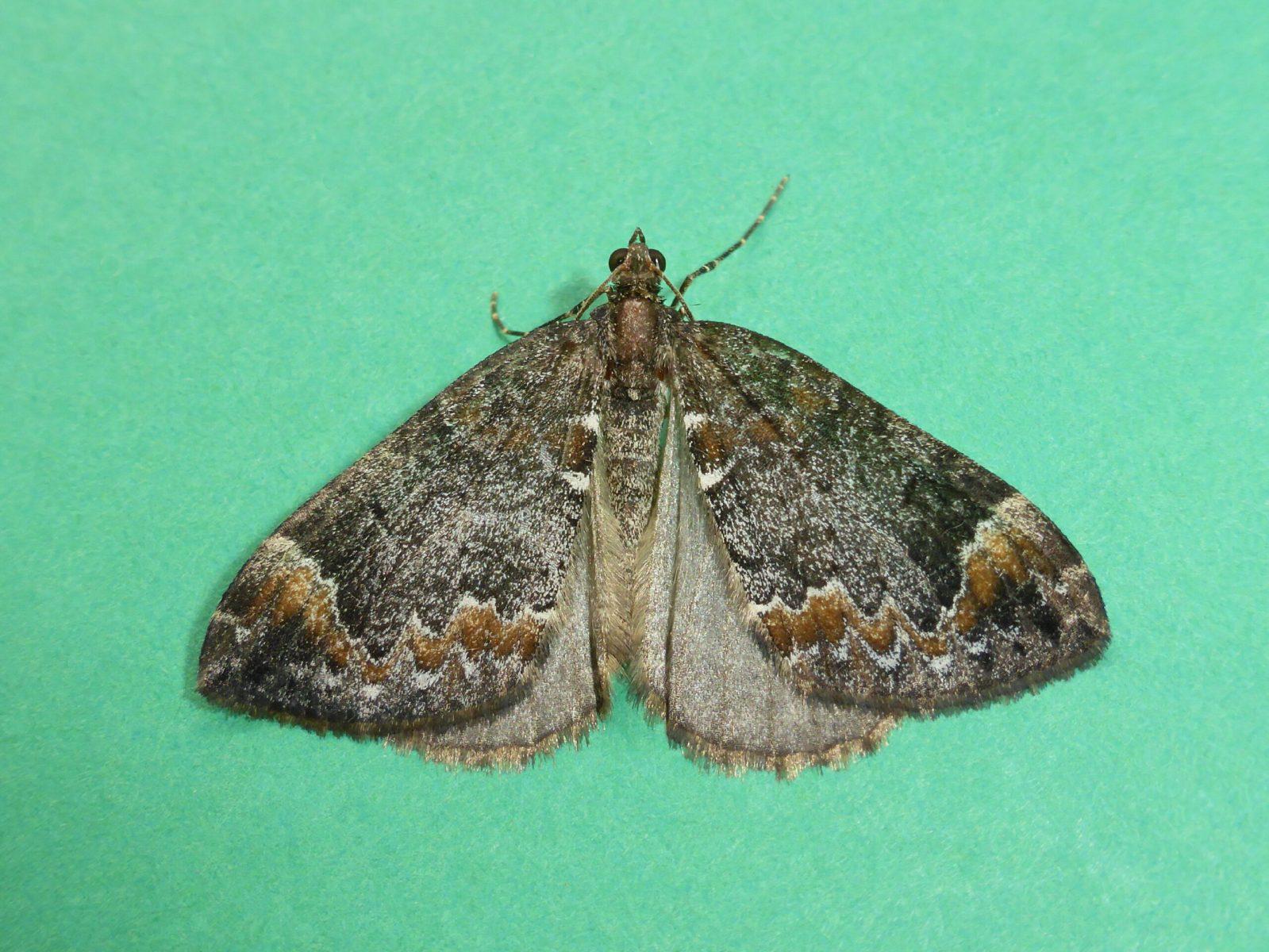 Chloroclysta truncata - Common Marbled Carpet - Kirk Smeaton