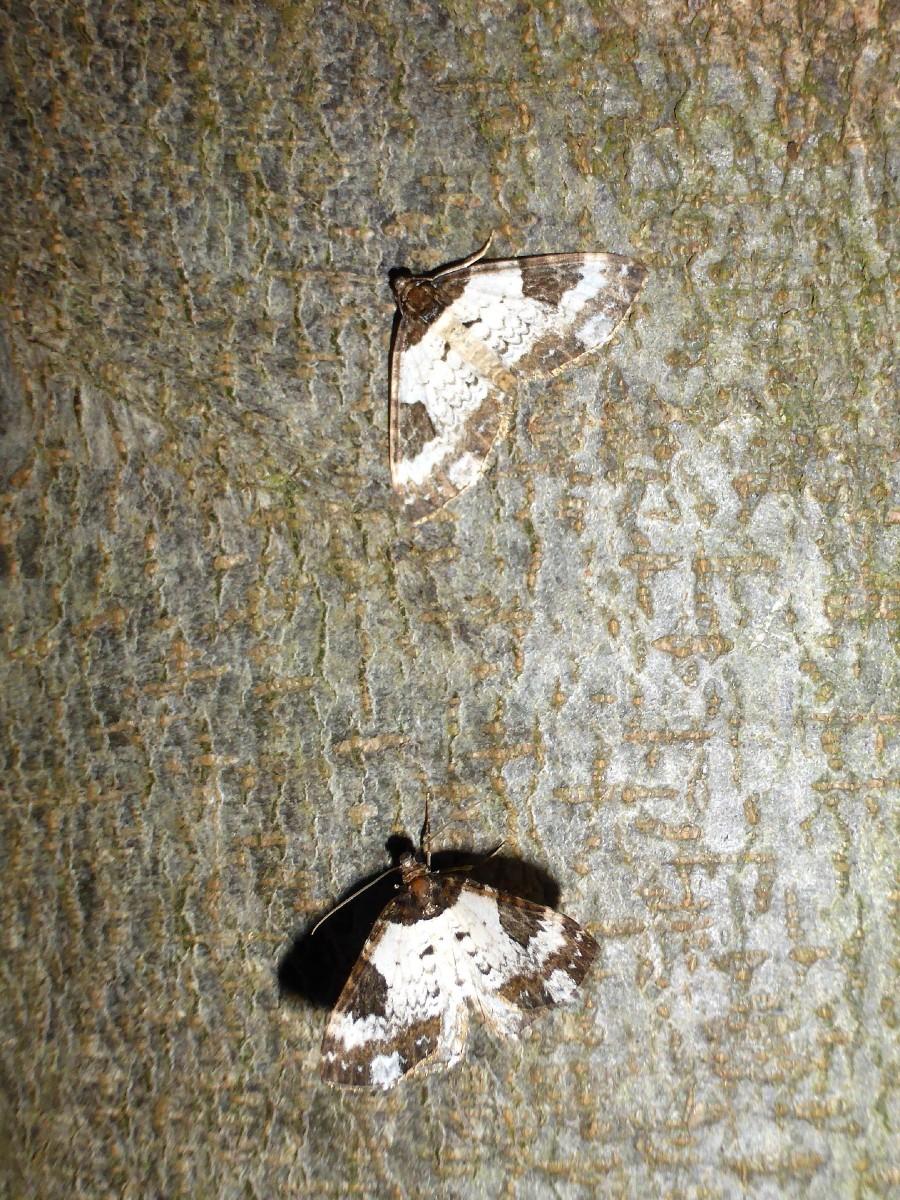 Melanthia procellata - Pretty Chalk Carpet - Brockadale NR