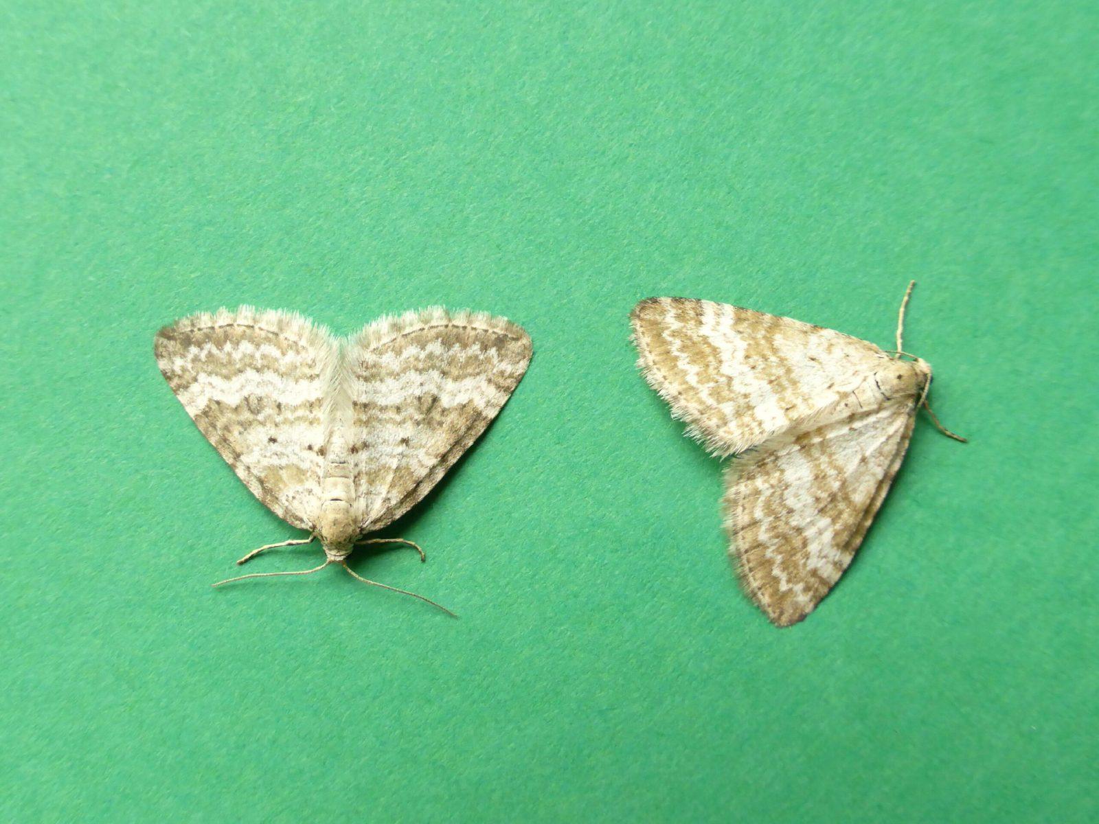 Paerizoma albulata - Grass Rivulet - Kirk Smeaton