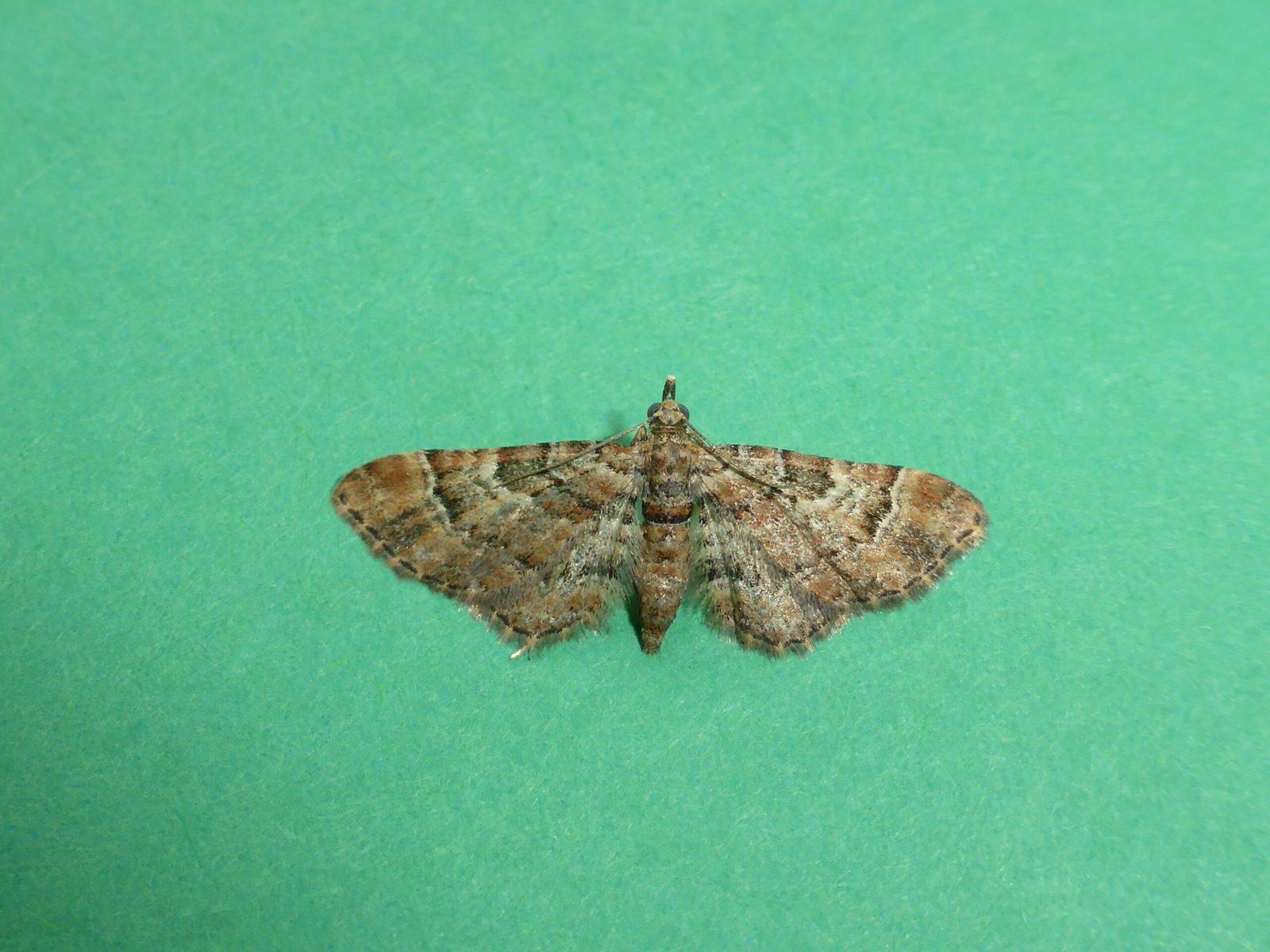 Gymnoscelis ruffasciata - Double-striped Pug - Kirk Smeaton