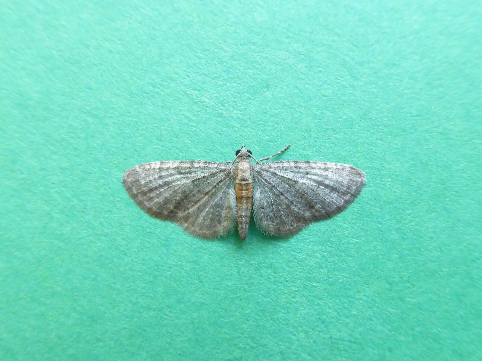 Eupithecia haworthiata - Haworth's Pug - Kirk Smeaton