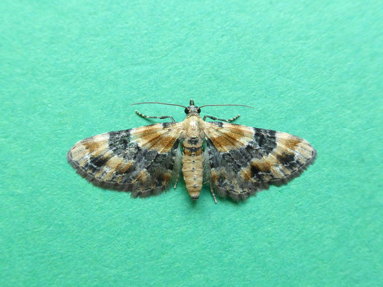 Eupithecia linariata - Toadflax Pug - Kirk Smeaton