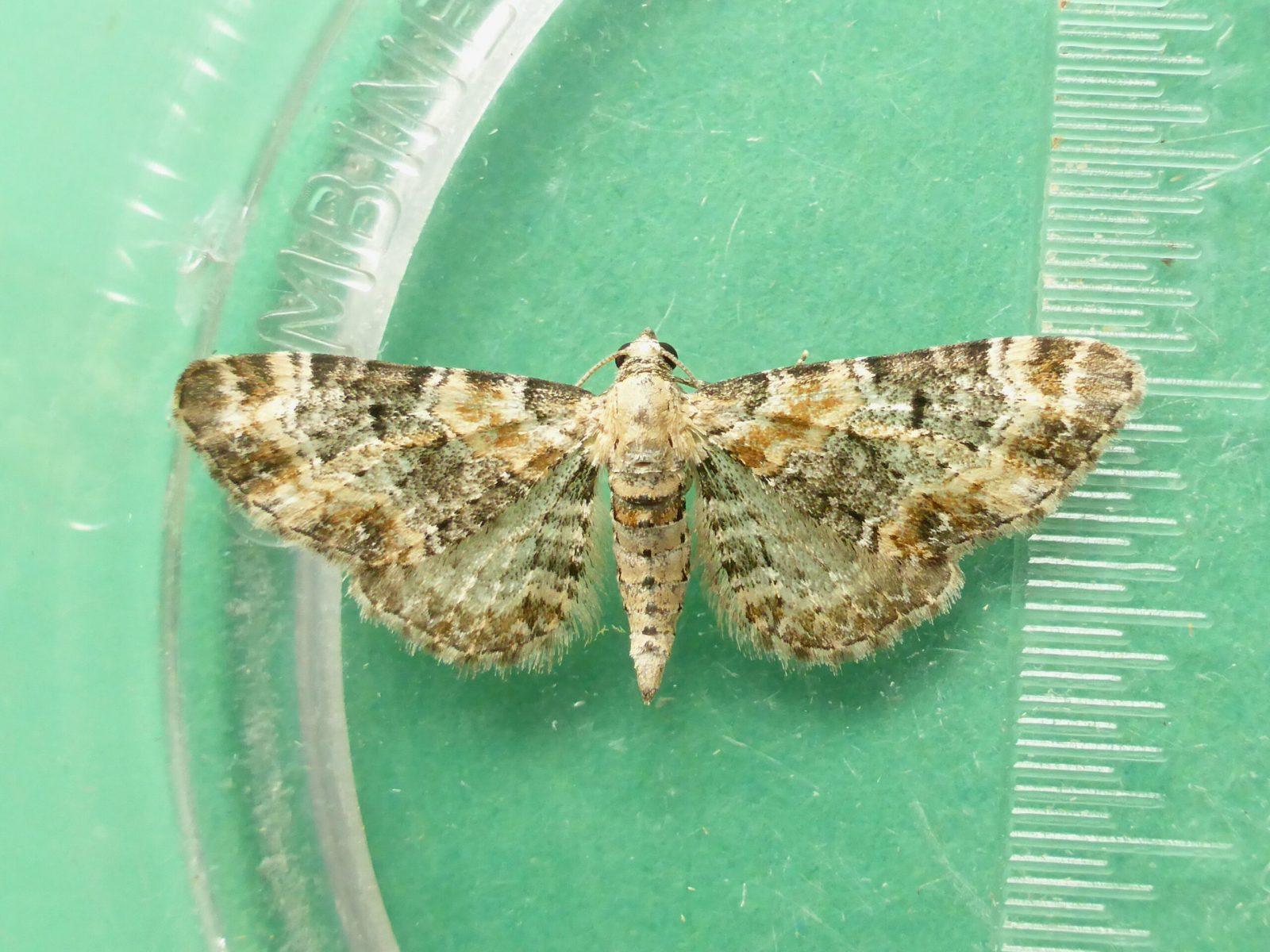 Eupithecia pulchellata - Foxglove Pug - Kirk Smeaton