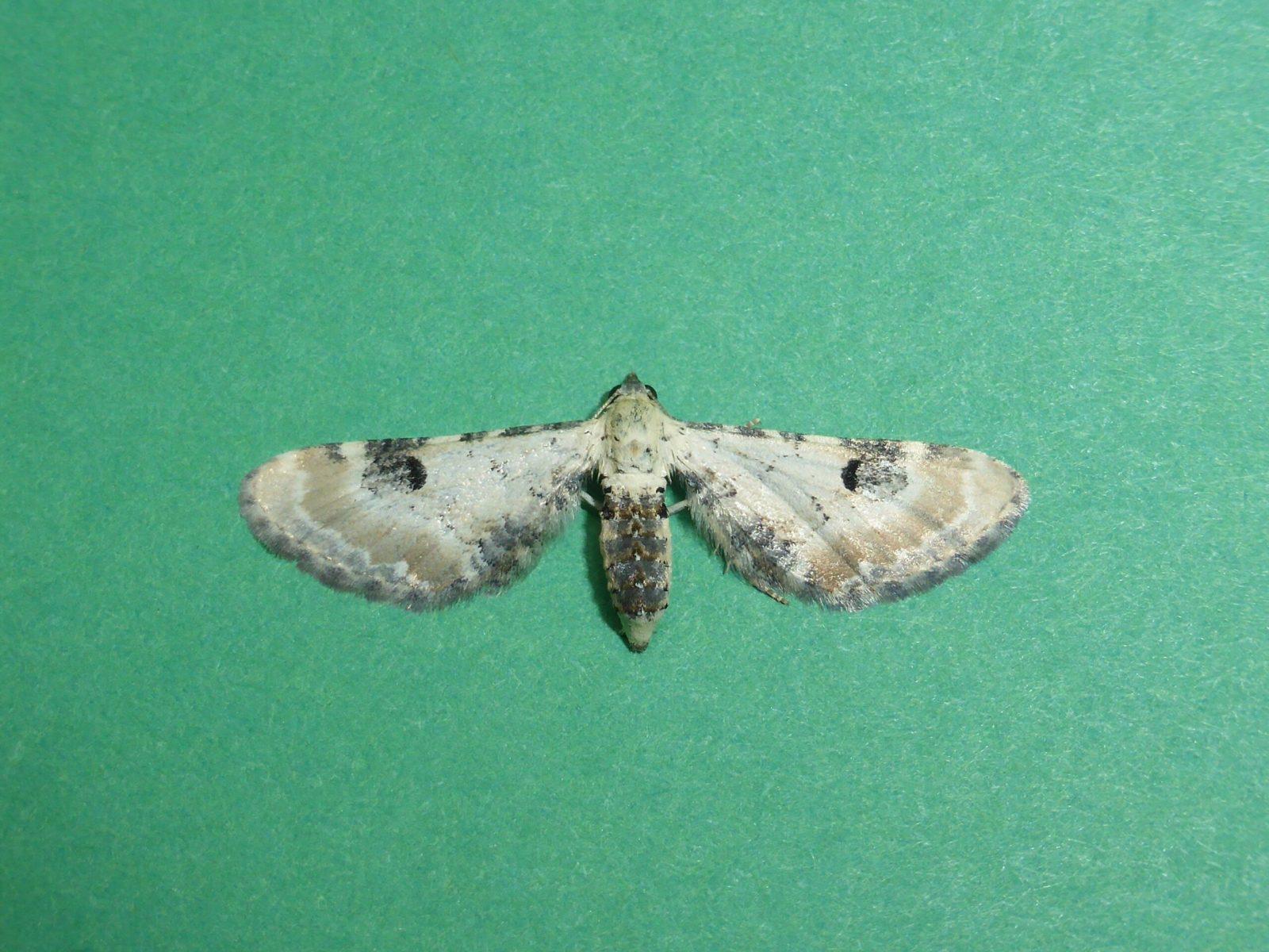 Eupithecia centaureata - Lime-speck Pug - Kirk Smeaton