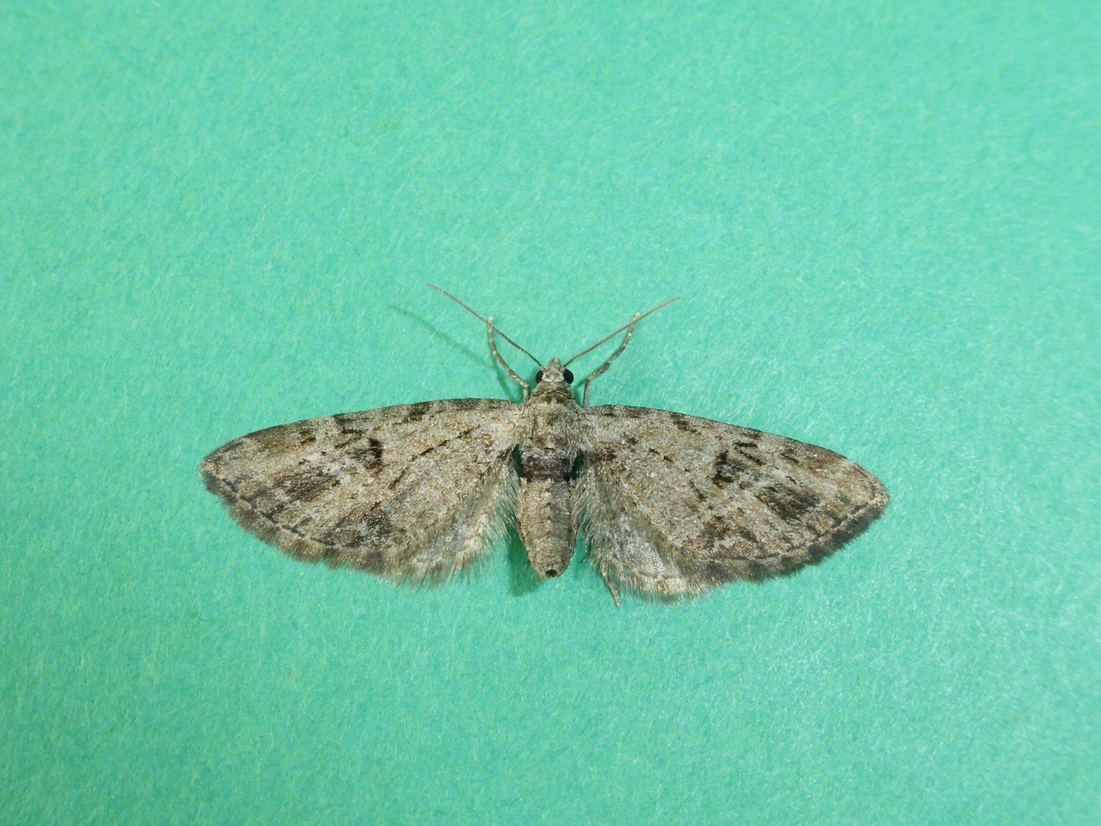 Eupithecia exiguata - Mottled Pug - Kirk Smeaton