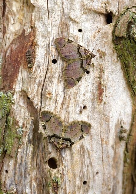 Anticlea derivata - The Streamer, Woodside Nurseries, Austerfield.