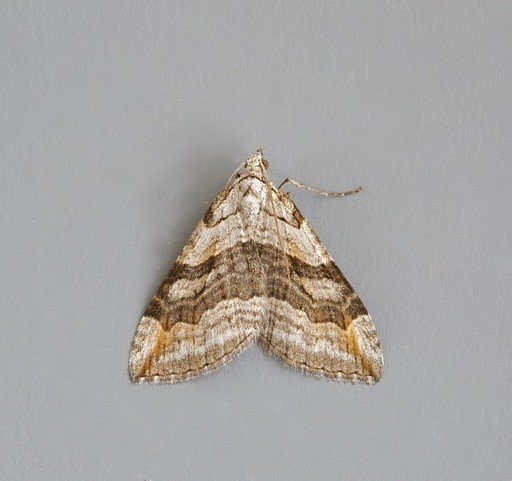 Aplocera efformata - Lesser Treble-bar, Woodside Nurseries, Austerfield.