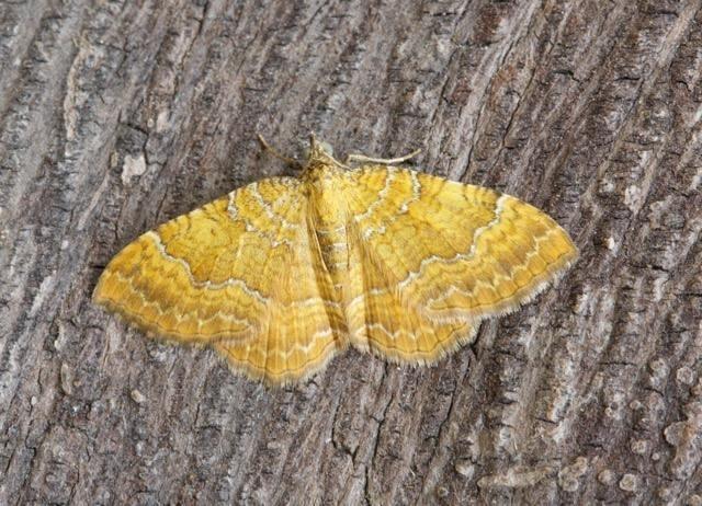 Camptogramma bilineata - Yellow Shell, Woodside Nurseries, Austerfield.