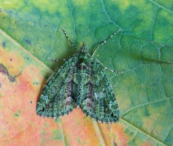 Chloroclysta siterata - Red-green Carpet, Woodside Nurseries, Austerfield.