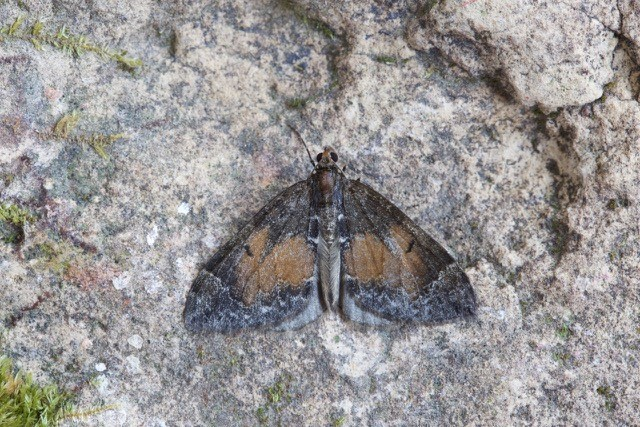 Dysstroma truncata - Common Marbled Carpet, Woodside Nurseries, Austerfield.