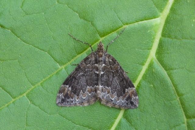 Dysstroma truncata - Common Marbled Carpet, Woodside Nurseries, Austerfield.