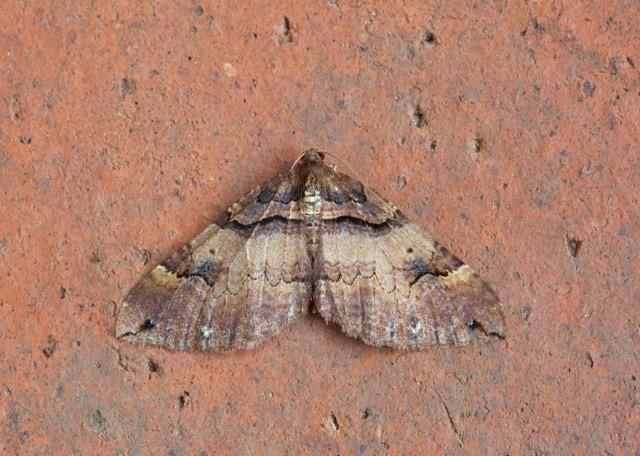 Earophila badiata - Shoulder Stripe, Woodside Nurseries, Austerfield.