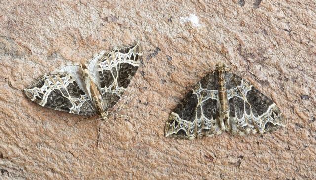 Ecliptopera silaceata - Small Phoenix, Woodside Nurseries, Austerfield.
