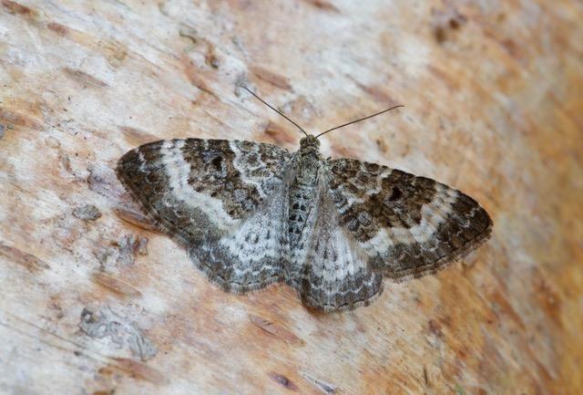 Epirrhoe alternata - Common Carpet, Woodside Nurseries, Austerfield.