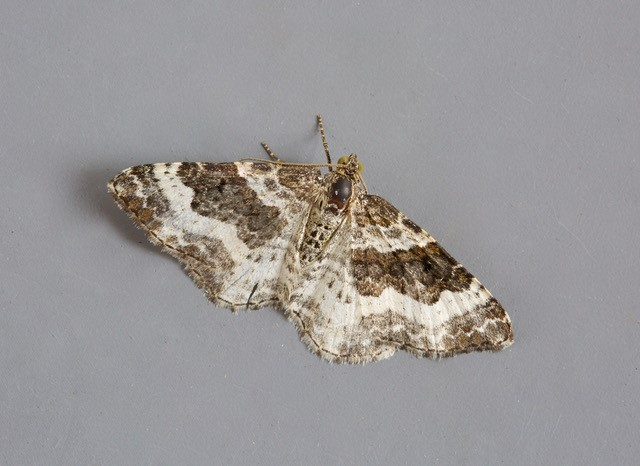 Epirrhoe rivata - Wood Carpet, Woodside Nurseries, Austerfield.