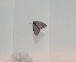 Epirrita dilutata - November moth, Cusworth Lane, Doncaster