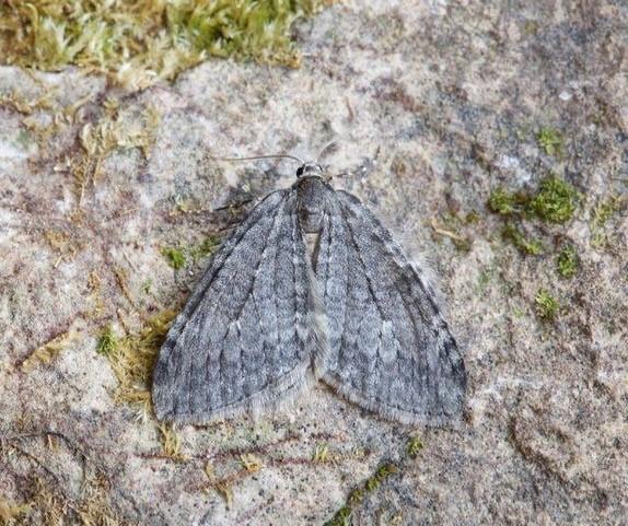 Epirrita dilutata agg - November Moth agg, Woodside Nurseries, Austerfield.