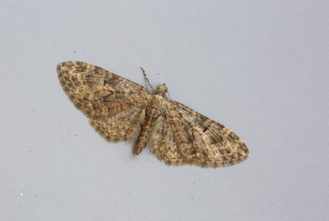 Eupithecia abbreviata - Brindled Pug, Woodside Nurseries, Austerfield.