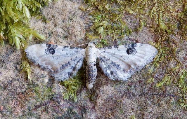 Eupithecia centaureata - Lime-speck Pug, Woodside Nurseries, Austerfield