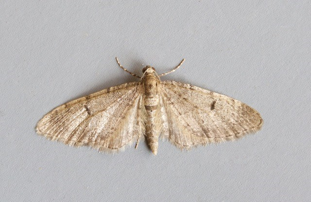 Eupithecia indigata - Ochreous Pug, Woodside Nurseries, Austerfield.