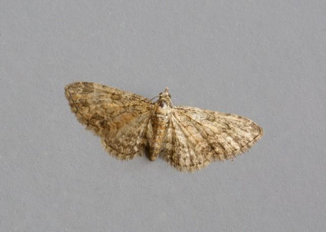 Eupithecia inturbata - Maple Pug, Woodside Nurseries, Austerfield.