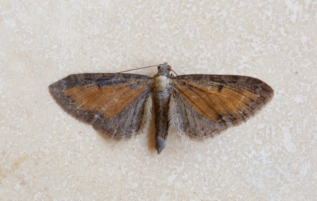 Eupithecia iterate - Tawny Speckled Pug, Woodside Nurseries, Austerfield.