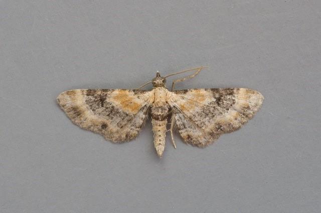 Eupithecia linariata - Toadflax Pug, Woodside Nurseries, Austerfield.
