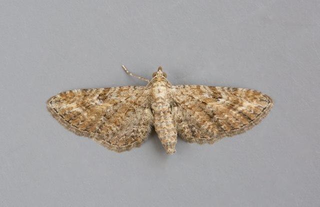 Eupithecia millefoliata - Yarrow Pug, Woodside Nurseries, Austerfield.