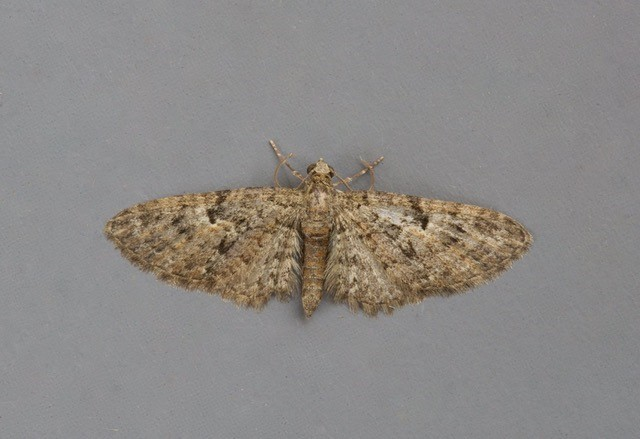 Eupithecia pusillata - Juniper Pug, Woodside Nurseries, Austerfield.