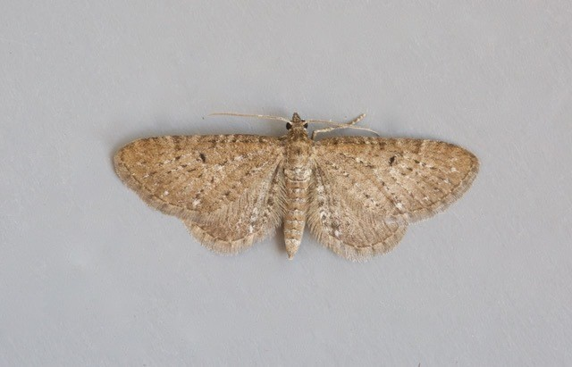 Eupithecia satyrata - Satyr Pug, Woodside Nurseries, Austerfield.