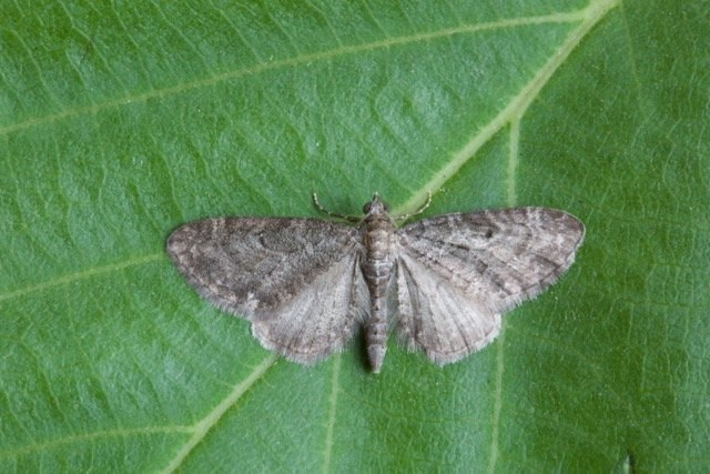 Eupithecia subfuscata - Grey Pug, Woodside Nurseries, Austerfield.