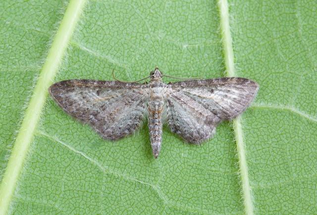 Eupithecia subumbrata - Shaded Pug, Woodside Nurseries, Austerfield.
